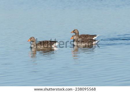 Greylag Geese. Anser anser. Villafafila Lagoons Nature Reserve. Zamora. - stock photo