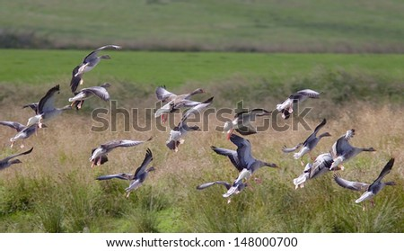 Greylag Geese coming in to land - stock photo