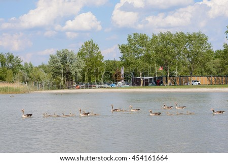 Greylag Geese swimming with boy in Lake Neusiedl - Austria
