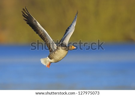 Greylag goose (Anser anser) flying off