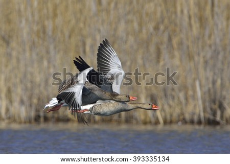 Greylag goose flight over a lake - stock photo