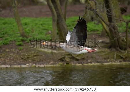 Greylag Goose, goose - stock photo