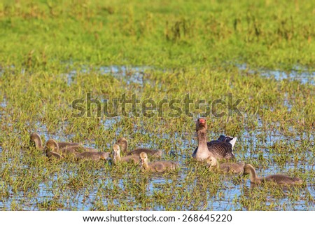 Greylag Goose goslings in the grass water - stock photo