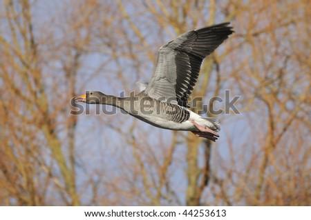 Greylag Goose in flight- Anser anser - stock photo