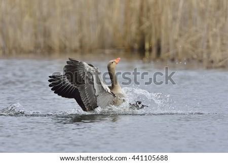 Greylag goose landing in a lake