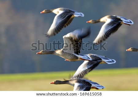 Greylag Goose on a lake. - stock photo