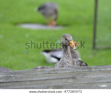 Greylag goose sitting at the picnic table