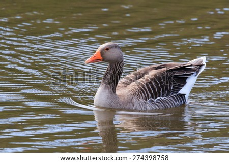 Greylag Goose swimming - stock photo