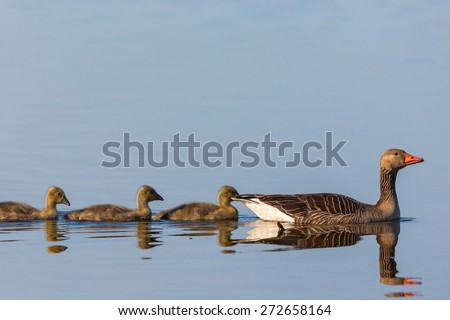 Greylag goose swimming with their young birds - stock photo