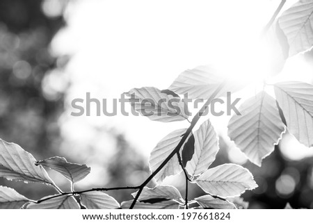 Greyscale image of a fresh spring leaves with sun flare against a blurred nature background.  - stock photo