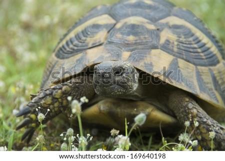 Griechische landschildkroete, Testudo hermanni boettgeri, Eastern Hermann's Tortoise - stock photo