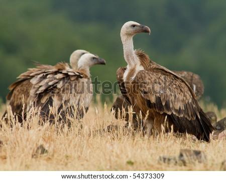Griffin Vulture (Gyps fulvus) in Wildlife Reserve Madjarovo, Bulgaria - stock photo