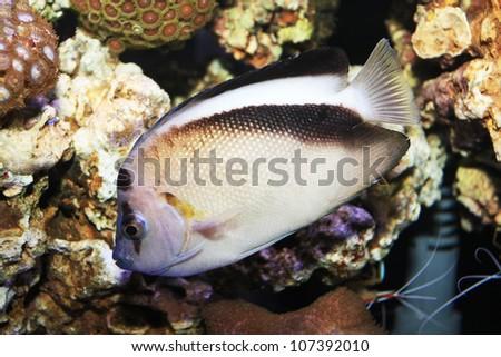 Griffis Angelfish ,Apolemichthys griffisi - stock photo