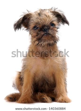 Griffon dog puppy portrait - stock photo