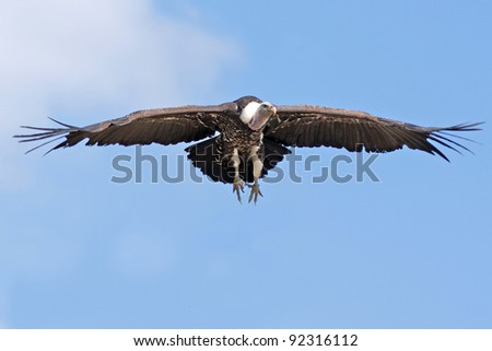 Griffon Vulture Bird (Gyps fulvus) Flying - stock photo