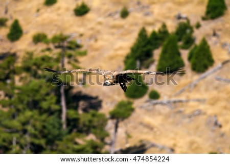 Griffon Vulture flying in the forest  nature background