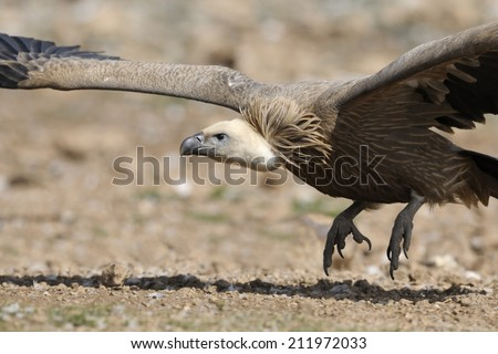 Griffon vulture flying off.