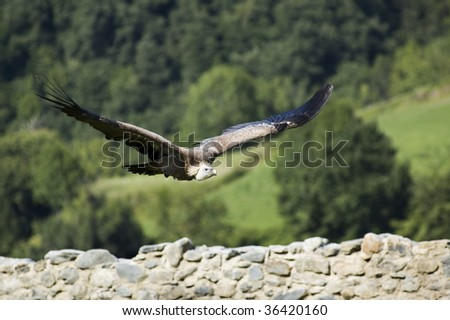 Griffon vulture flying over an old wall, Pyrenées, France. - stock photo