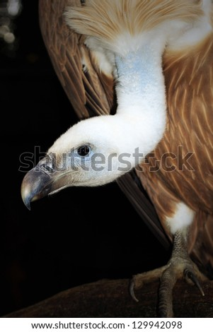 Griffon Vulture (gyps fulvus) - stock photo