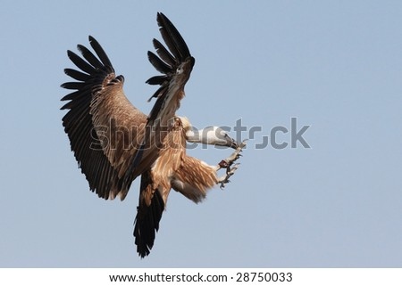 Griffon Vulture - Gyps fulvus in flight