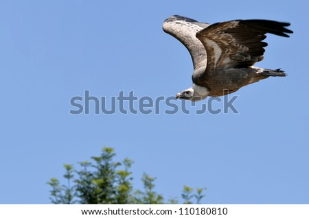 Griffon vulture (Gyps fulvus) in flight on blue sky background