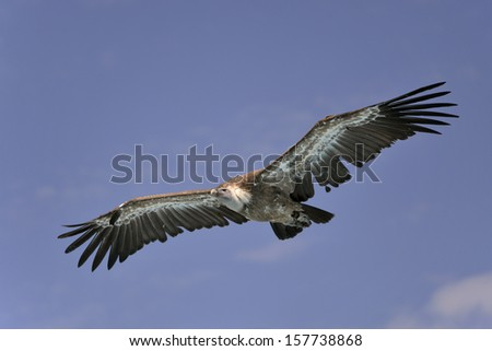 Griffon vulture (Gyps fulvus) in flight on blue sky background - stock photo
