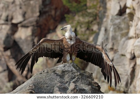 Griffon Vulture, Gyps fulvus, sitting on the stone with spread wings, rock mountain, Spain - stock photo