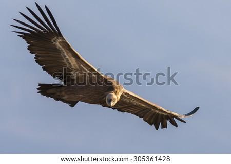 Griffon vulture in flight. - stock photo