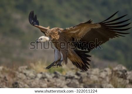 griffon vulture in flight - stock photo