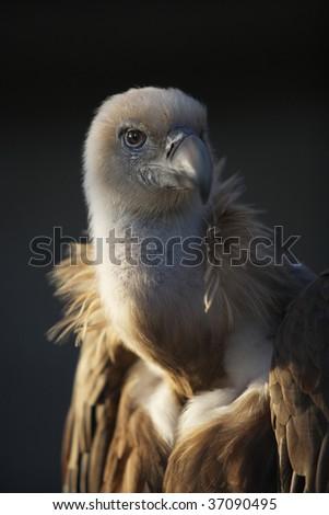 griffon vulture, portrait - stock photo