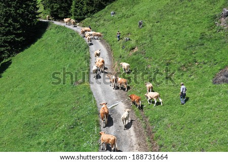 GRINDELWALD, SWITZERLAND - JULY 08, 2008: Shepherds drive a herd of cows in a pasture on the slopes of the Alps. Grindelwald - a ski resort in the Bernese High Alps - stock photo
