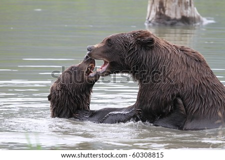 grizzlies fighting in the water