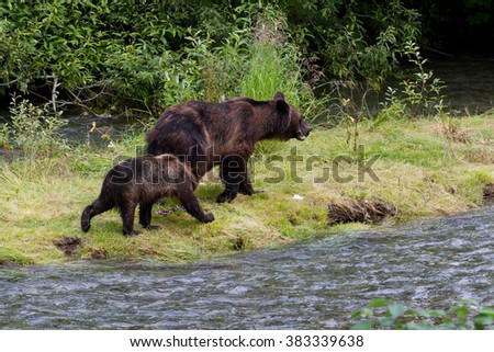 Grizzly bear and Bear Cub Catching Salmon at hyder Alaska