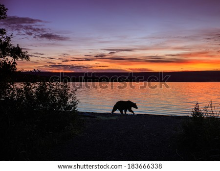 Grizzly bear at sunset in Katmai National Park - Alaska - stock photo