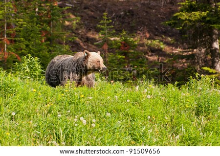 Grizzly bear, Banff National Park, Alberta - stock photo