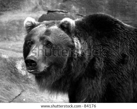 grizzly bear black and white - stock photo