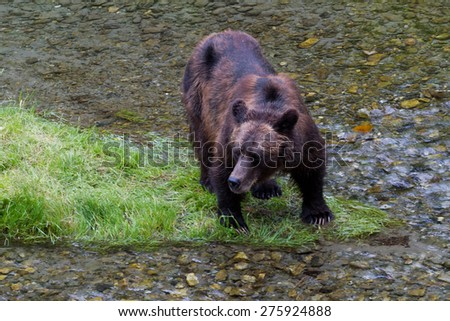 Grizzly bear Catching Salmon at hyder Alaska - stock photo