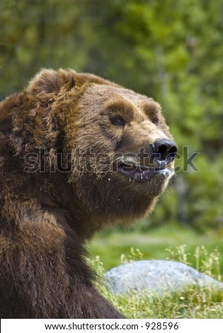 Grizzly Bear Chomping on Ice - Some Motion Blur on Mouth - stock photo