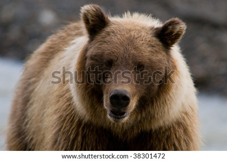 Grizzly Bear Close up