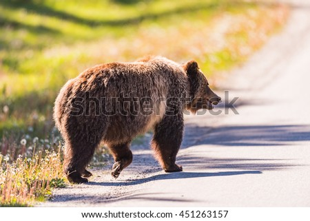 Grizzly Bear crossing a road in the summertime Banff National Park Alberta Canada