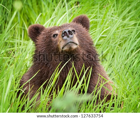 Grizzly bear cub sitting in the long grass in the wild, sniffing the air - stock photo