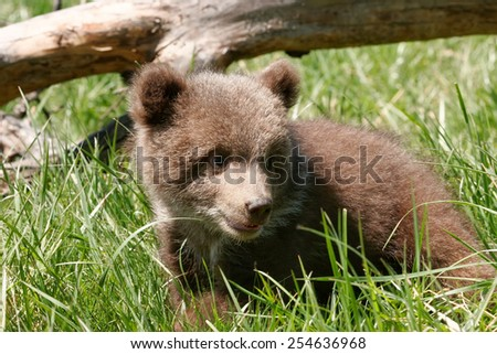 Grizzly bear cub (Ursus arctos) sitting in green grass