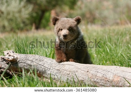 Grizzly bear cub (Ursus arctos) sitting on the log in green grass - stock photo