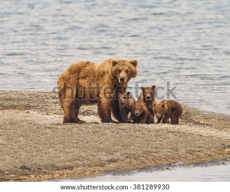 Grizzly Bear Family of Five  - a sow and four cubs focus their attention on an incoming intruder at Katmai National Park, Alaska.  Is it a threat?  - stock photo