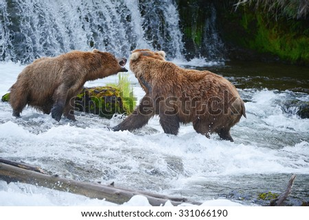 grizzly bear fighting in a river at katmai national park