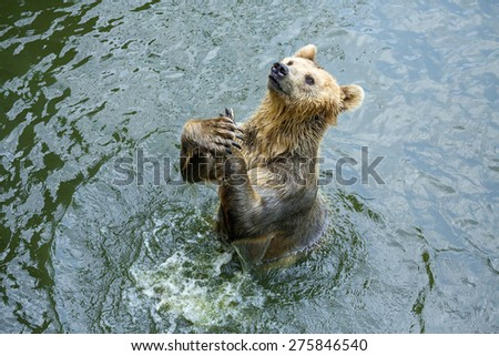 Grizzly Bear fishing in coastal waters - stock photo