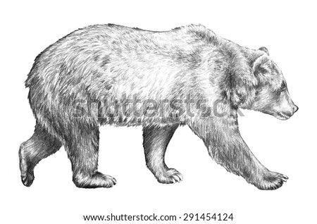 grizzly bear, hand drawn sketch of bear walking, dangerous wildlife animal, huge brown bear, north American wildlife, bear pencil sketch illustration isolated on white background - stock photo