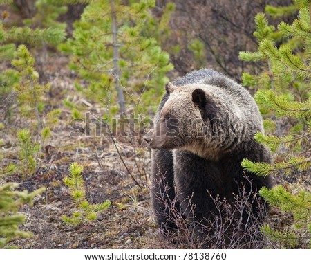 Grizzly bear in Banff national park - stock photo