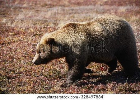 grizzly bear in denali in autumn