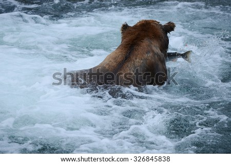 Grizzly bear in Katmai, Alaska